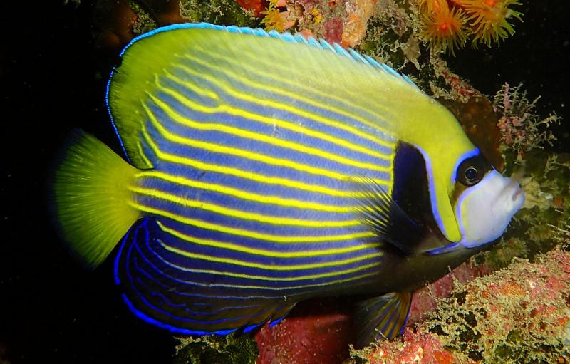 pez angel emperador en Maldivas