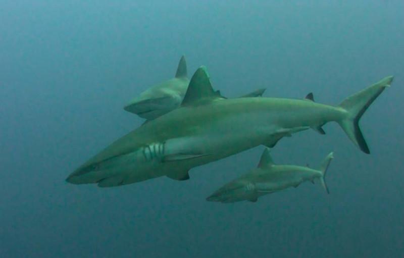 tiburones grises en Maldivas